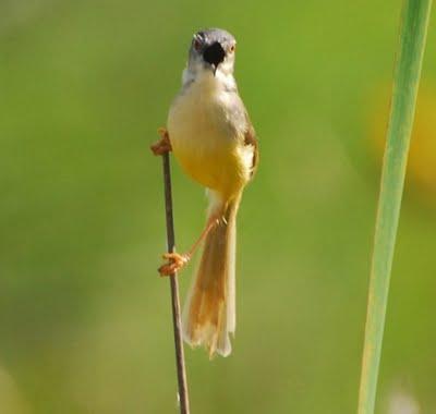 Ciblek - burung ciblek rawa